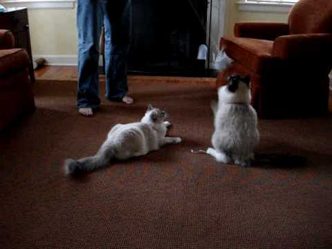 Ragdoll Kittens Playing With A Homemade Cat Toy - ねこ - ラグドール - Floppycats