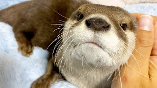 The otter clinging to my shoulder, waiting for me to sleep with him [Otter life Day 429]
