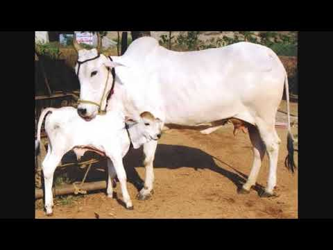 IMPORTANT OF HOLY COW&PITHRUS