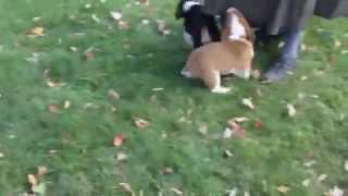 Welsh Corgi Mix Puppies For Sale