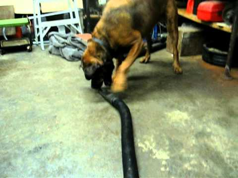 Bull Mastiff Rottweiler Mix Youtube