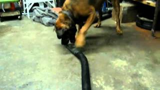 Bull Mastiff Rottweiler Mix
