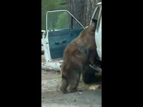 Watch This Bear Open a Car Door and Steal Snacks Like It's No Big Thing