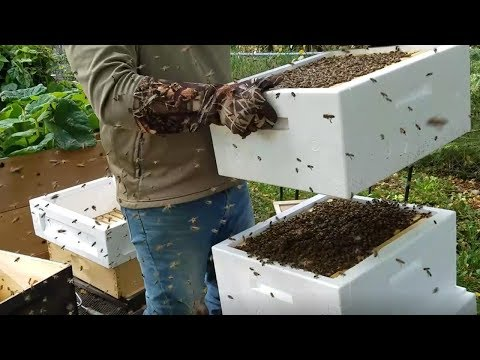 Winter Prep - Transferring Bees To Polyurethane Hive (from Wood Hive)