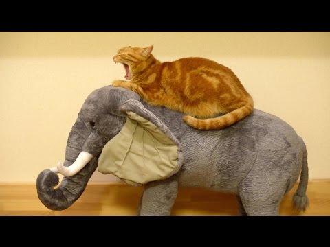 Thumbnail for Cat Video Orange Cat Rides Elephant