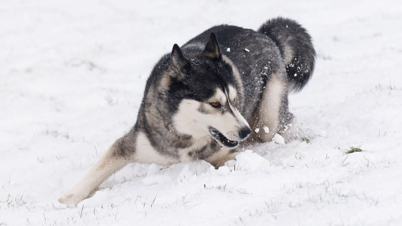 Husky Hiking In The Snow