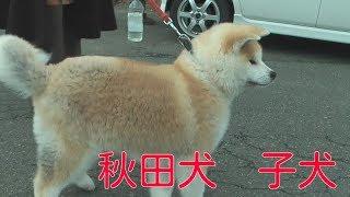 秋田犬の子犬 生後4か月なそうです。元気いっぱい、愛嬌抜群な子犬でし...