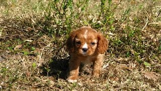Cavalier King Charles Spaniel, Puppies, For, Sale, In, Denver, Colorado, Co, Fort Carson, Black Fore