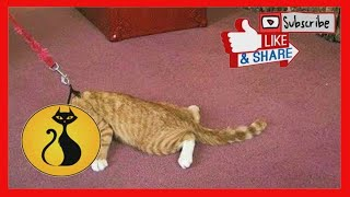 Funny Cats Refusing To Walk Like Dogs Compilation !Gatos Que Se Niegan A Andar Como Perros Videos