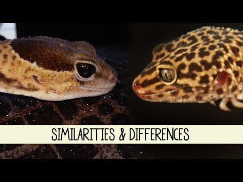 African Fat-Tailed Geckos Vs Leopard Geckos