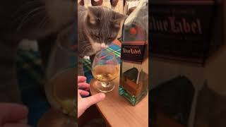 Кот и виски / blue label / cat and whiskey 🥃