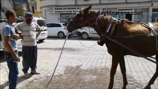 İstanbul'da Yarış Atıyken Nusaybin'de Yük Atı Oldu