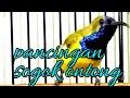 Pancingan Sogok Ontong Langsung Nyaut Suara Burung  Mp3 - Mp4 Download