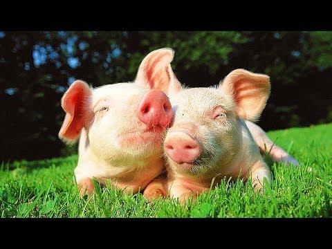 Résultat d'images pour cochon