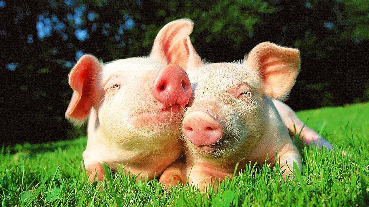 """Résultat de recherche d'images pour """"cochon trop mignon"""""""