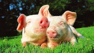 Les animaux de la ferme : Le cochon