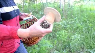 видео Грибы в Карелии: какие растут и когда сезон?