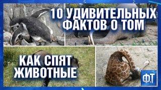 видео 10 удивительных фактов о том, как спят животные
