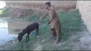 Sunny deol funny voice