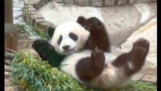 和歌山のアドベンチャーワールドで生まれたパンダです。 パンダの名前は...