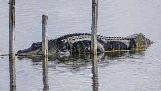 Alligator Gathering at Lake Apopka