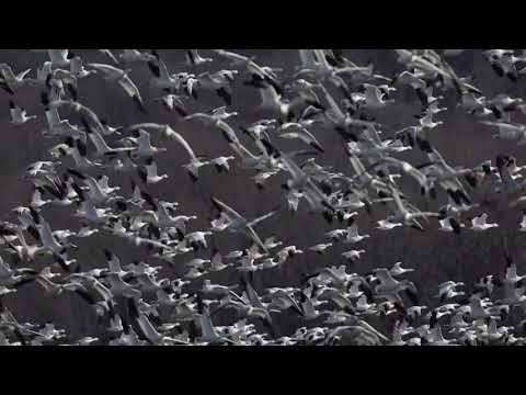 The great Snow Geese migration: Middle Creek (Pa.) Wildlife Management Area