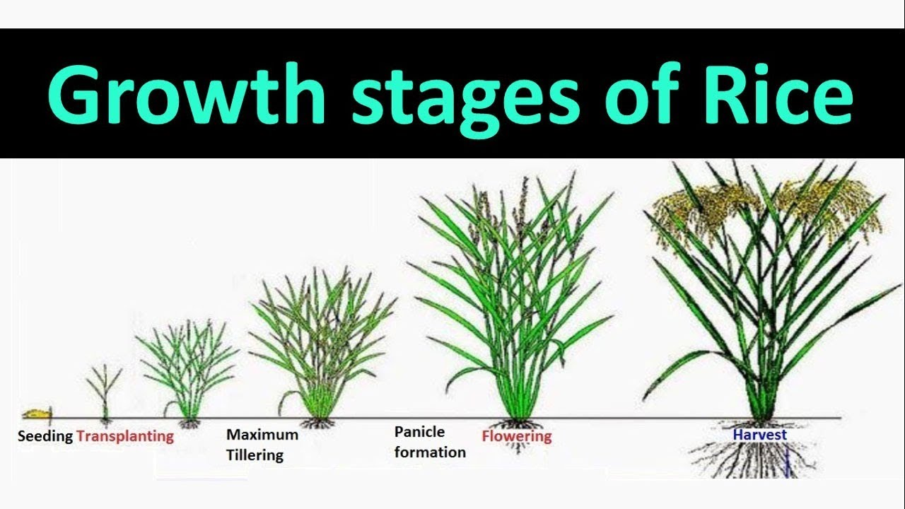 Growth stages of Rice