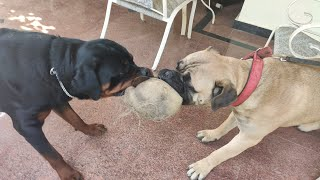 Bullmastiff Vs Rottweiler (Which is better? ) Watch before buying!!