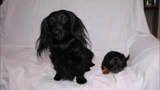 ID番号:10698 犬種:ミニチュアダックスフンド 性別 : 女の子(メス、...