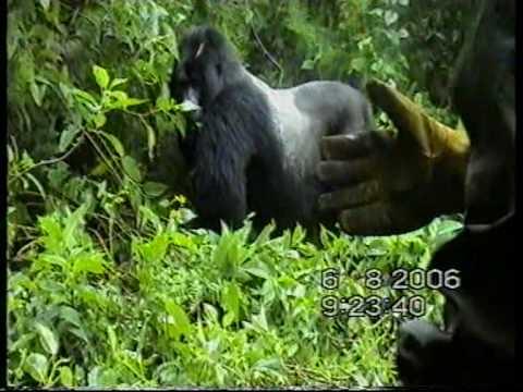 Wild Mountain Gorilla Attacking