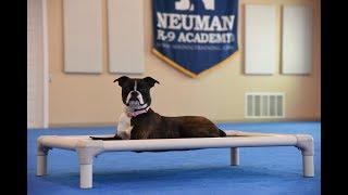Emma (Miniature Boxer) Puppy Camp Dog Training Video Demonstration