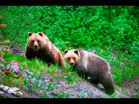 Wild Grizzly Bear Pooping in British Columbia