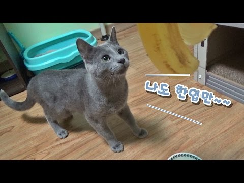 Russian Blue Cat Chattering