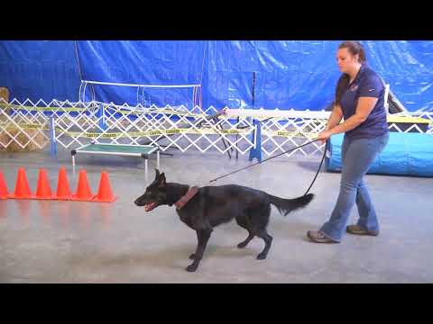 Camille von Prufenpuden 15 Mo's Personal Protection Training Development Dog For Sale