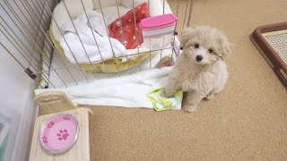 [2 dogs at home] Morning Routine for a Toy Poodle & a Puppy Poodle. What a mess!