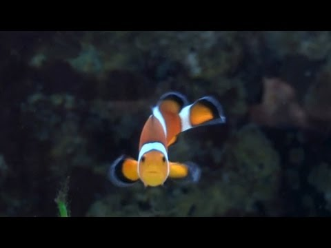 Investigating Sex-Changing Clownfish (featuring Justin Rhodes)