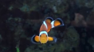 Video Investigating Sex-Changing Clownfish (featuring Justin Rhodes) download MP3, 3GP, MP4, WEBM, AVI, FLV September 2017