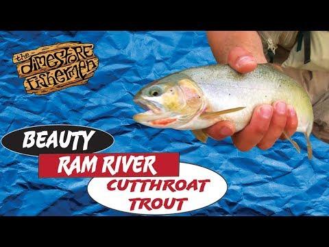 Ram River Cutthroat   BEAUTY CUTTHROAT