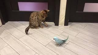 Бенгальский красавец. Битва бенгальского кота с попугаем Арчи. Кто кого?