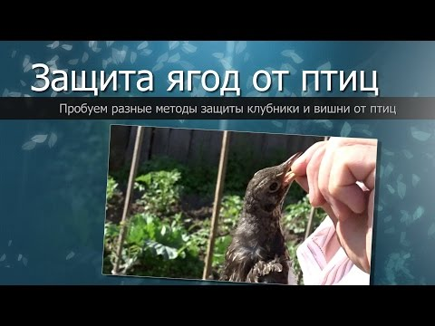 видео: Как защитить ягоды от птиц//how to protect berries from birds