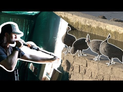 BLOWDART HUNTING In AFRICA!! {Guinea Fowl}