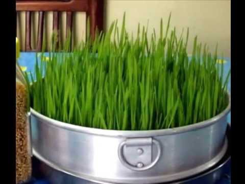 How To Grow Wheatgrass Without Soil In Easy Steps At Home Hydroponically Part 2