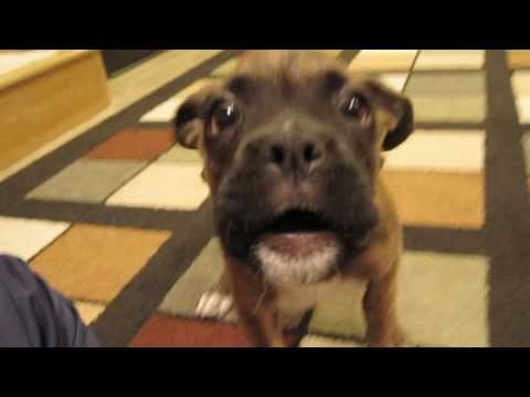 Boxer Puppy Harassing Me After a Nap! (BROCK THE BOXER Dog)