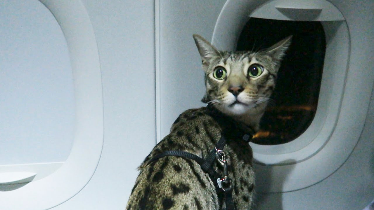 Cats On A Plane Youtube