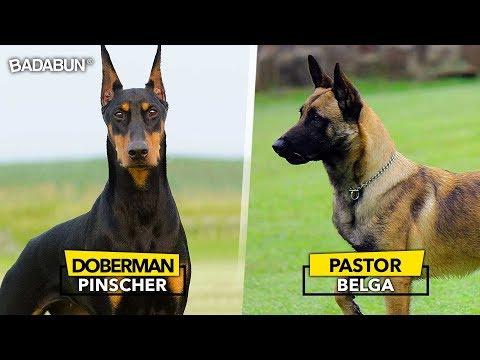 8 Razas de perro que son mejor que un polic�a
