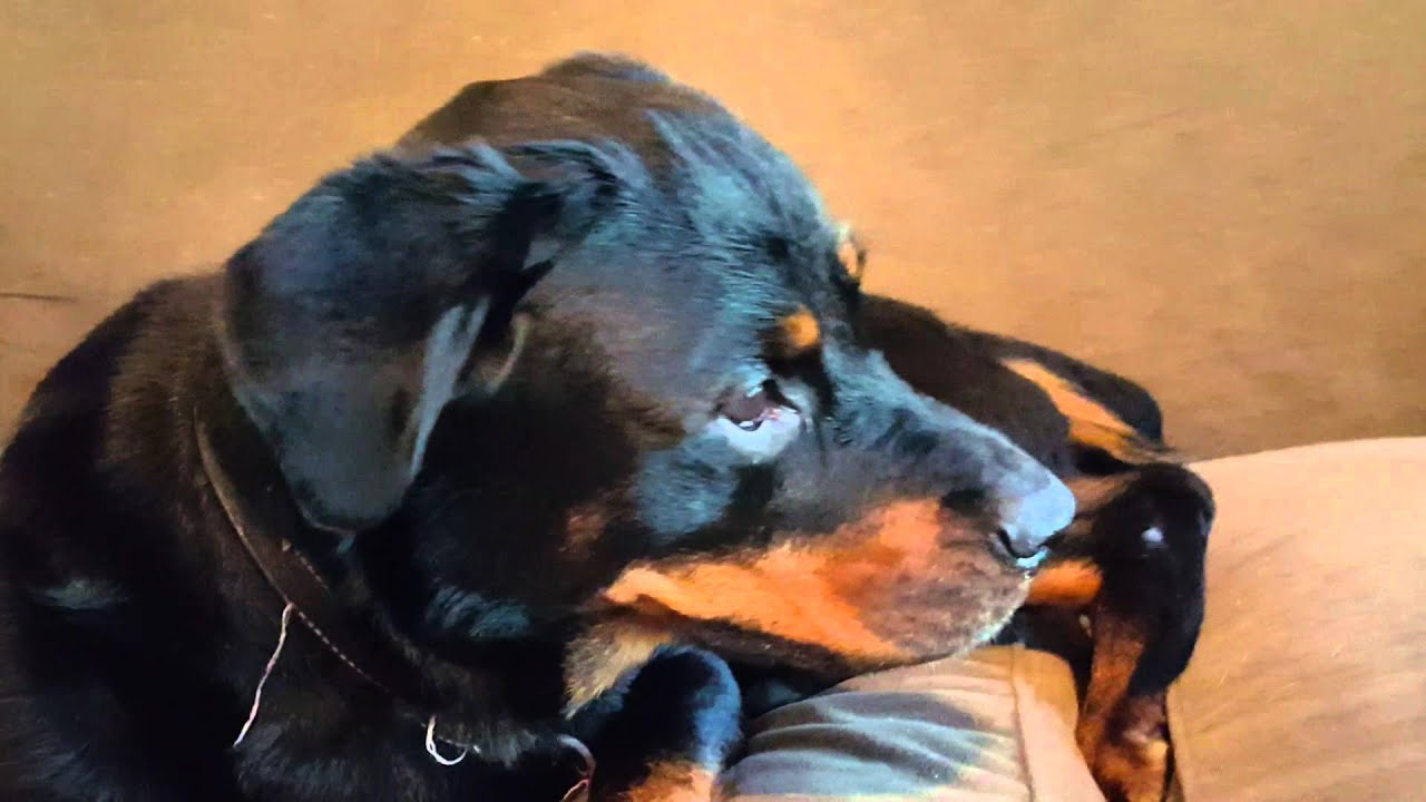 Rottweiler Rescue 4 Days After Video Hand Feeding Scared Stray