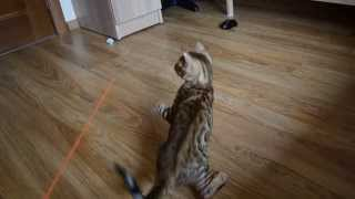 LantanaFly питомник бенгальских кошек - Еmmanuel