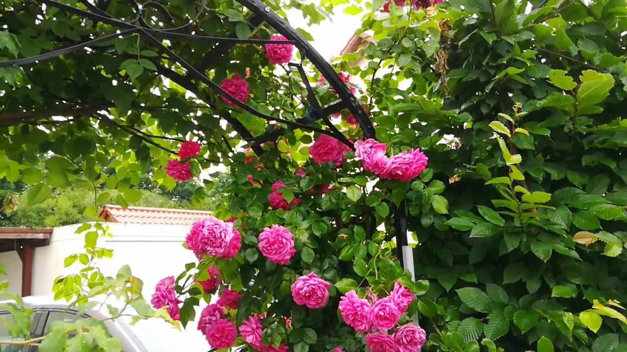 Berühmt Duftende Rosen - YouTube &SZ_55