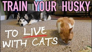 Teach Your Siberian Husky To Live With A Cat!