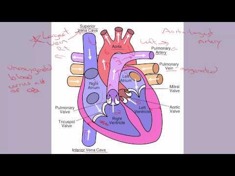 6 1 Human Heart Parts - YouTube